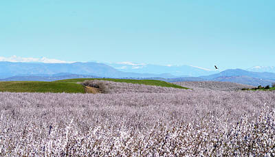 Photograph - Almond Blossoms and Mountains by Michael Hodgson