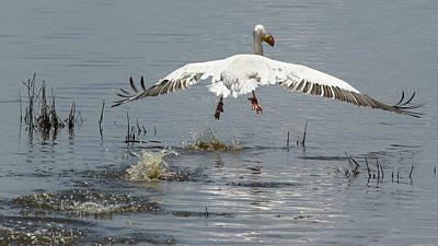 Photograph - Pelican taking flight by Michael Hodgson