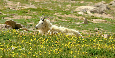 Photograph - Rocky Mountain Goat Heaven by Alan Boucher