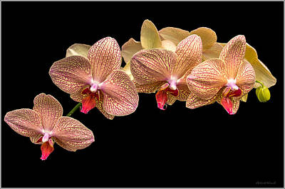 Photograph - Orchid 1 by Robert Winch