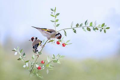 Goldfinch Photographs