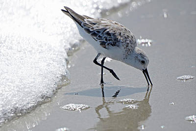 Sand Pipers Art Prints