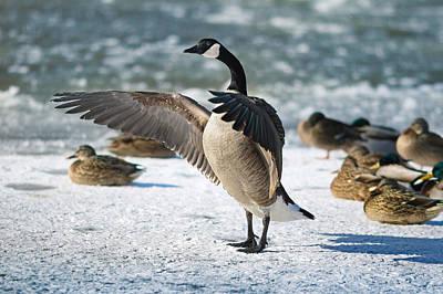 Canada Goose Photographs