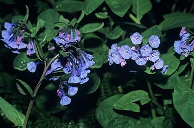 Virginia Bluebell Photographs
