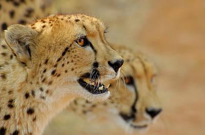 Photograph - Cheetah Portrait by Martin Heigan