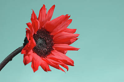 Red Sunflower Photographs