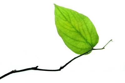 Green Leaves Photographs