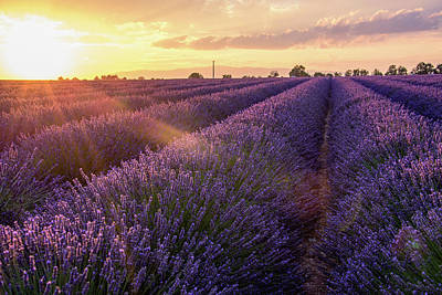 Photograph - Provence Lavender by Joseph Plotz