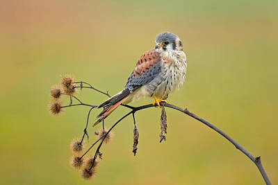 American Kestrel Photographs