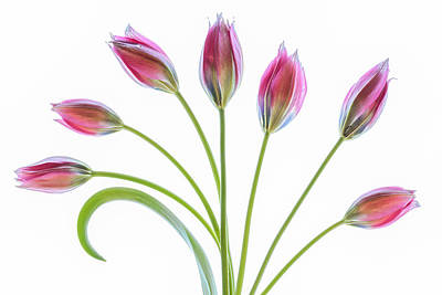 Tulipa Art Prints