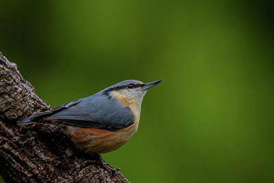 Red-breasted Nuthatch Photographs