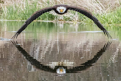 Bald Eagle Photographs