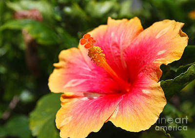 Red Hibiscus Photographs