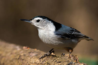 Nuthatch Photographs