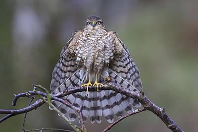 Sparrow Hawk Photographs