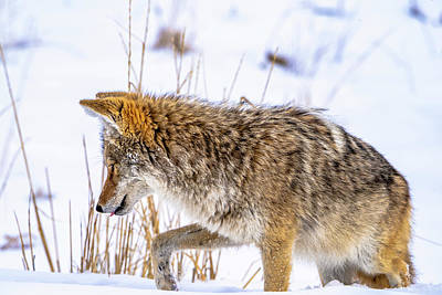 Photograph - Coyote by Cameron Knudsen