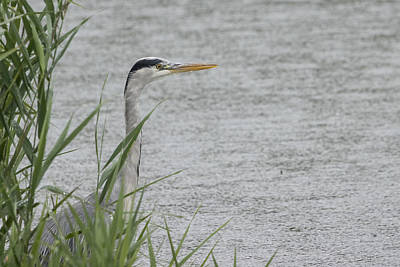 Photograph - Grey Heron by Wendy Cooper
