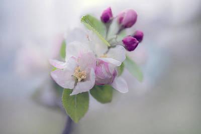 Photograph - Apple Blossom by Maria Ismanah Schulze-Vorberg