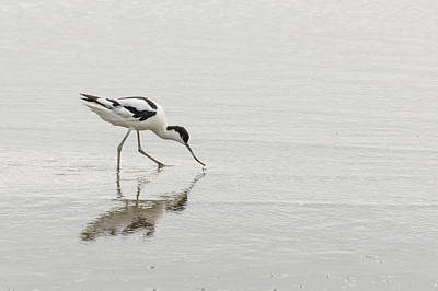Photograph - Avocet by Wendy Cooper