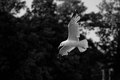 Photograph - Bird flying over the coast - Wildlife in black and white wall decor by Farzad Frames