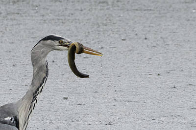Photograph - Catch of the Day Grey Heron with Eel by Wendy Cooper
