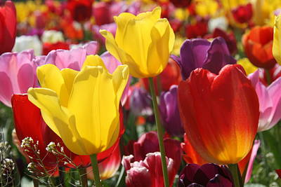 Photograph - Colorful Tulips by Elizabeth Rose