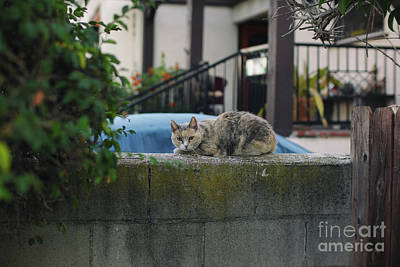 Photograph - Cool Kitty by Davy Cheng