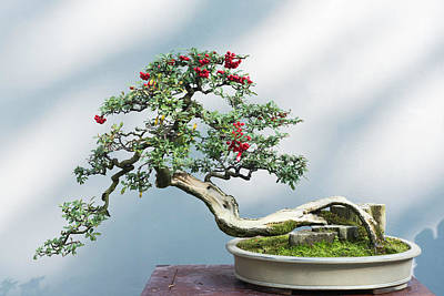 Photograph - Curved bonsai tree with red fruits on a table against a white wall by Philippe Lejeanvre