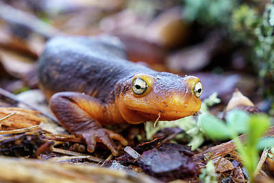 Photograph - Eye-to-eye with a California newt by Michael Hodgson