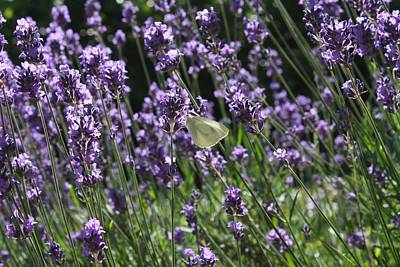 Lavender Photographs