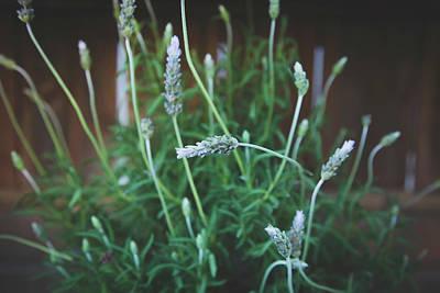 Photograph - Rosemary by Saroum Giroux