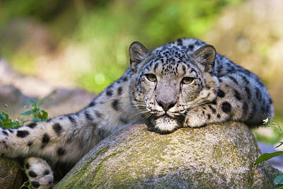 Photograph - Snow Leopard I by Rainer and Simone Hoffmann