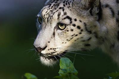 Photograph - Snow Leopard II by Rainer and Simone Hoffmann