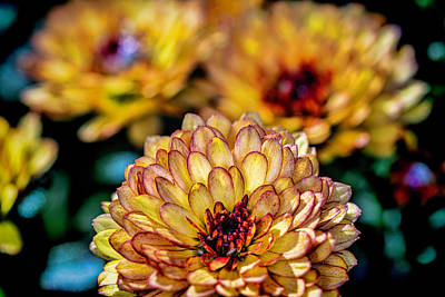Photograph - The Mums are back in town by Roberto Aloi