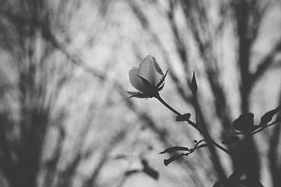 Photograph - White Rose by Saroum Giroux