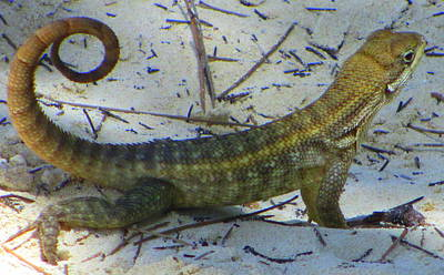 Designs Similar to Caribbean Lizard