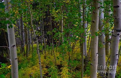 Photograph - Aspen tree forest by Sherry Little Fawn Schuessler