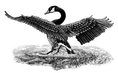 Drawing - Goose Landing by Clint Hansen