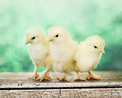 Baby Chicks Wall Art