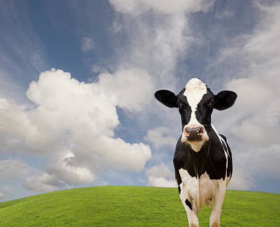 Designs Similar to Holstein Dairy Cow by John Lund
