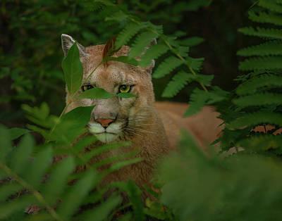 Mountain Lion Photographs