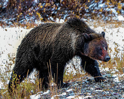 Photograph - Grizzly Bear by Cameron Knudsen