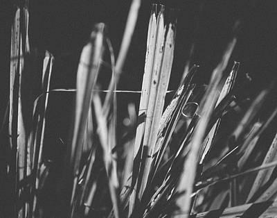 Photograph - Lemongrass by Saroum Giroux
