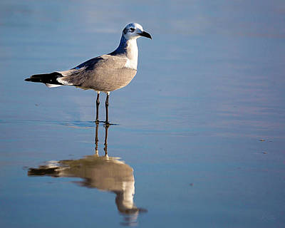 Photograph - Seagull Reflection by Kirsten Aufhammer
