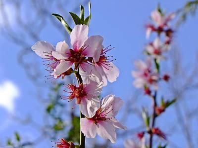 Photograph - Almond Blossom by Nigel Cameron