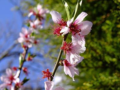 Photograph - Almond Tree Blossom by Nigel Cameron