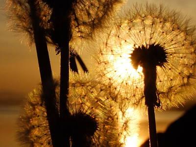 Photograph - Dandelion Sunset by Nigel Cameron