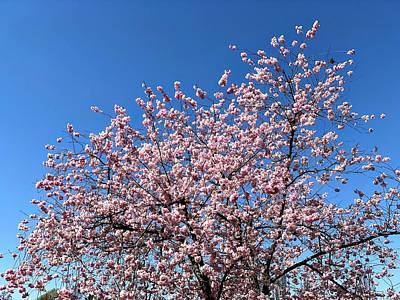 Cherry Blossom Photographs