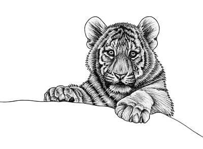 Amur Tiger Drawings