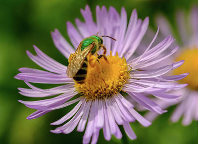 Photograph - Busy as a Bee by Alan Boucher